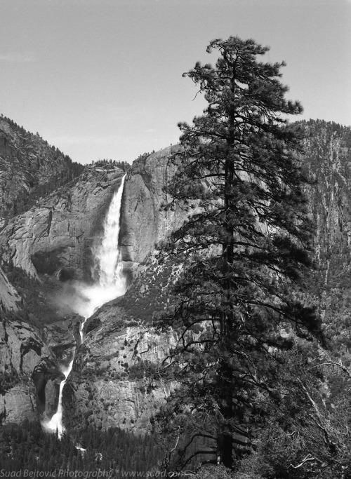 Yosemite Falls and Pine